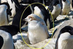 Chim cánh cụt bạch tạng cực hiếm 'nổi bần bật' cạnh đồng loại