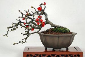 Chán đào 'khủng', dân Hà Thành săn lùng đào bonsai 2 gang tay