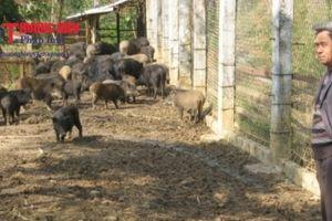 Người nông dân trở thành triệu phú từ nuôi lợn rừng