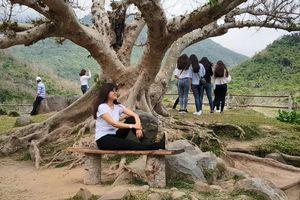 Hai cây sung cổ thụ trăm tuổi thu hút hàng ngàn người đến chụp ảnh