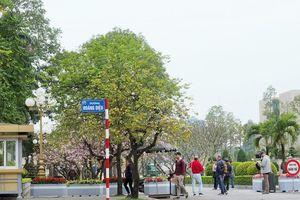 Ngắm hoa ban nở tím trên đường Hoàng Diệu, Bắc Sơn (Hà Nội)