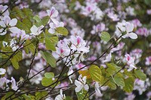 Ngẩn ngơ ngắm hoa ban Tây Bắc nhuộm tím phố phường ngày xuân sang