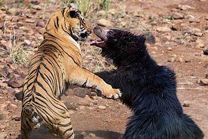 Màn chiến đấu nảy lửa giữa gấu đen và hổ Ấn Độ