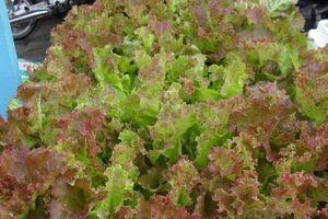 Kỹ thuật trồng rau xà lách tím tại nhà ăn quanh năm khỏi lo hóa chất