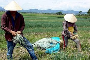 Những ruộng rau gia vị hốt bạc tỷ của nông dân Việt
