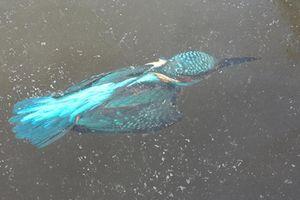 Hà Lan: Lặn xuống nước săn mồi, chim bói cá bị đông cứng trong băng