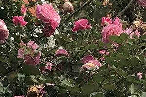 Lễ hội hoa hồng Bulgaria đã sẵn sàng 'hút hồn' người yêu hoa
