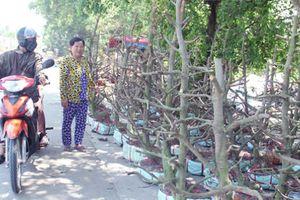 Người Sài Gòn thu tiền tỷ nhờ bán cả trăm gốc mai bonsai sau Tết