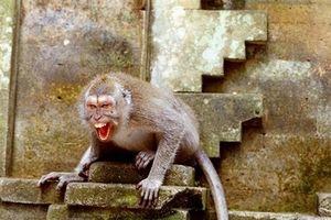 Khỉ quấy phá ở Hà Nội: Bị khỉ cắn có thể mắc bệnh dại tử vong