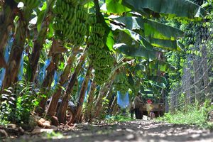 Giá chuối tăng cao gấp 10 lần năm ngoái, người trồng lãi nửa tỷ đồng/ha