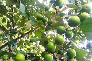 Giống táo Đào vàng