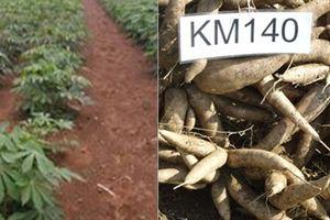 Bình Thuận sản xuất thử nghiệm giống sắn cao sản