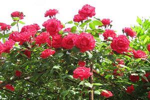 Vì sao hoa hồng cổ hút khách dù giá chát?