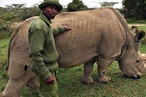 Sau 1 tháng 'lên mạng' tìm bạn tình, tê giác trắng đực duy nhất đã chết