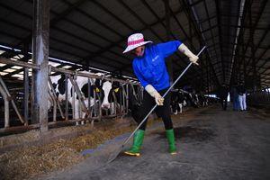 Ngưỡng mộ nơi người nuôi bò sữa lãi trăm triệu đồng/tháng, đều là tỷ phú