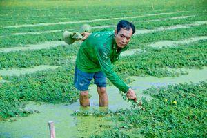 Thoát nghèo nhờ trồng rau nhút