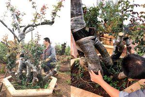 'Choáng ngợp' với gốc hoa hồng mẫu tử, được trả gần 1 tỷ của đại gia Lào Cai