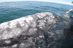 Khoảnh khắc cá voi xám tiến sát thuyền cho du khách vuốt ve