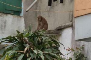 Khỉ quậy phá khu phố: Thích phụ nữ, tránh xa đàn ông