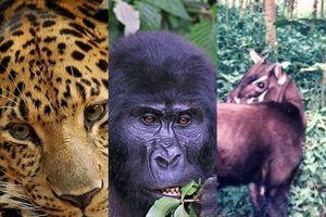 Không chỉ có tê giác trắng Nam Phi, đây là 11 loại vật đứng trước bờ vực của sự tuyệt chủng, trong đó có loài của Việt Nam