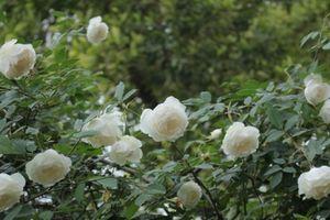Kỹ thuật trồng hoa hồng bạch cổ mang vẻ đẹp tinh khiết, hương thơm ngào ngạt