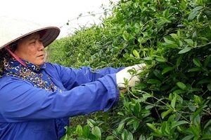 Công bố quốc tế về 9 hoạt chất mới trị tiểu đường từ Dây thìa canh Việt Nam