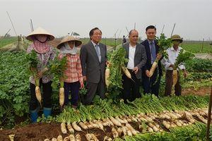 Doanh nhân Hàn Quốc sang VN quyết biến củ cải thành 'vàng trắng' XK