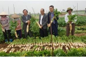 Xây dựng nhà máy chế biến củ cải tại Hải Dương: Bắt tay gỡ khó cho nông dân