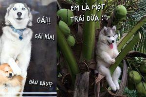 Những bức ảnh hài hước cho thấy vì sao Husky là loài chó 'không thể không yêu'