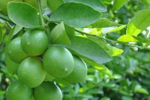 Vị thuốc 4 mùa từ quả chanh