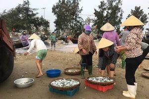 Thanh Hóa: Ngư dân trúng đậm mùa cá trích