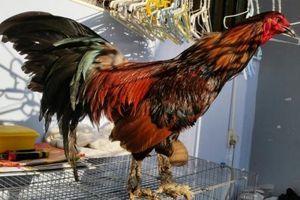 Giải bí ẩn loài gà có vảy rồng ở chân, xuất xứ Việt Nam
