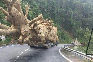 Ba cây 'quái thú' có nguồn gốc từ Đắk Lắk