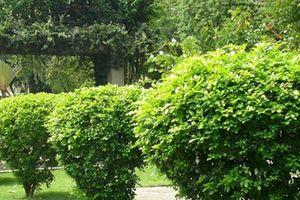 Kỹ thuật trồng cây hoa ngâu làm hàng rào trước nhà để trấn thủy, xua đuổi điềm xấu