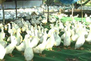 Mô hình nuôi vịt trên sàn hạn chế dịch bệnh, lợi nhuận 100 triệu đồng/năm