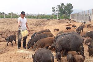 Nông dân miền núi lãi hàng trăm triệu nhờ nuôi lợn bán hoang dã