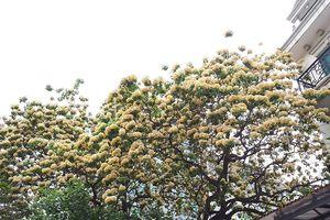 Kỳ lạ cây hoa 2 màu nở bung rực rỡ giữa Thủ đô chào hè