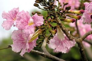Khám phá 'hoa anh đào' phiên bản Việt, nở rộ khắp phố Sài Gòn