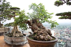 Đại gia Việt chơi 'ngông', vung tiền tỷ mua cây ổi, sung, tùng bonsai