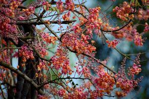 Về miền Tây ngắm hoa ô môi khoe sắc