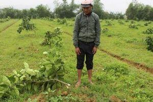 Tận cùng khốn nạn: Vườn bưởi Phúc Trạch 2 năm bị chặt phá tan hoang