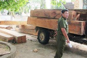 Vụ phá rừng ở Đắk Lắk: Cận cảnh lâm tặc dùng trâu kéo gỗ ra khỏi rừng