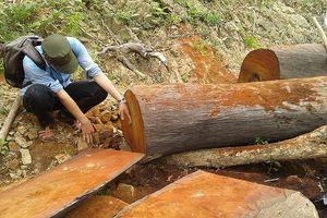 Mới nhất vụ phá rừng đặc dụng, săn bắn động vật quý hiếm tại Quảng Nam
