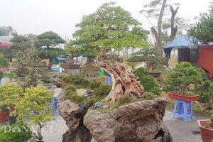 'Cụ' linh sam bonsai dáng thế cực hiếm, giá gần 300 triệu