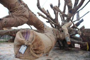 Vụ vận chuyển 3 cây 'khủng': Công an Thừa Thiên Huế lên tiếng