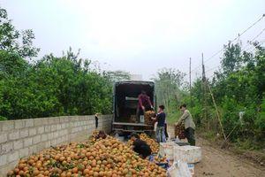Tuyên Quang: Bài học trong phá vỡ quy hoạch vùng cam Hàm Yên