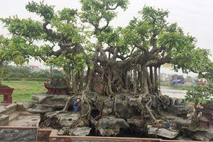 Hai cây cảnh trăm tuổi mọc trên đá siêu đẹp của đại gia Hà Nội