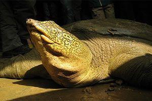 Khám phá về loài rùa như cá thể giống rùa Hồ Gươm mới thấy