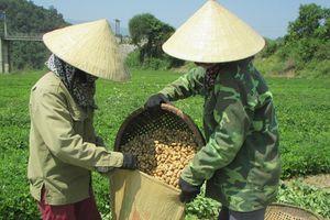 Bán lạc tươi ngay chân ruộng, nông dân thu lãi 3,5 triệu đồng/sào