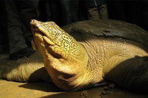 Nhà rùa học Hà Đình Đức: Chưa thể khẳng định rùa hồ Xuân Khanh là 'hậu bối' của rùa Hồ Gươm